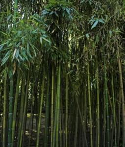 Bamboo Trees Go Green Academy